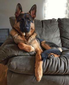 What a handsome looking German Shepherd