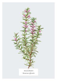 Culinary Herbs on Behance