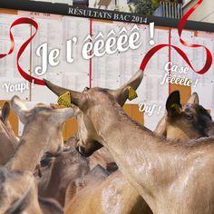 Notre chèvre a eu son #bac avec mention :) #Soignon #goat #baccalaureat