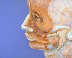 Human face anatomy by Patrick J. Lynch, via Flickr