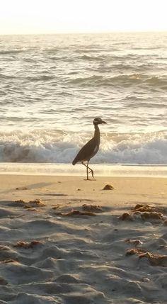 Bird Watching On Manasota Key Beach At The Pearl Beach Inn