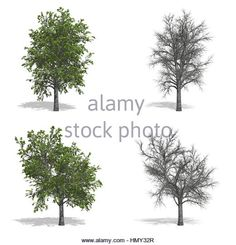 Stock Photo - Cherry trees, isolated on white background Cherry Tree, Pop Up, Trees, Stock Photos, Illustration, Outdoor, Outdoors, Popup, Tree Structure