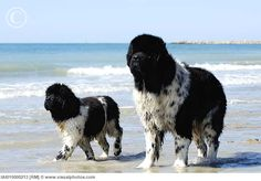 Landseer Newfoundland...Love them!!