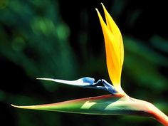 Tropical Flowers - birds of paradise. Tropical Flowers, Hawaiian Flowers, Exotic Flowers, Tropical Garden, Tropical Plants, Amazing Flowers, Beautiful Flowers, Tropical Animals, Garden Fun