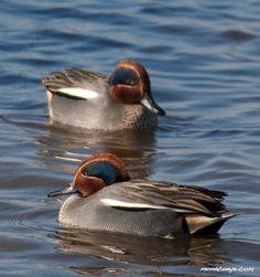 Bird name: Common TealLatin: Anas creccaOther: Sarcelle d'HiverFamily: Anatidae • Ducks