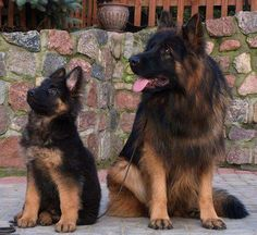 great pic of two fabulous GSD's..thank 4 sharing..God Bless these angels..what a treat to look at them