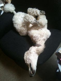 Pablo the sleeping contortionist does this resemble your fur baby? Dog Love, Puppy Love, Dog Suit, Good Buddy, Yorkie, Fur Babies, Dog Breeds, Standard Poodles, Barboni