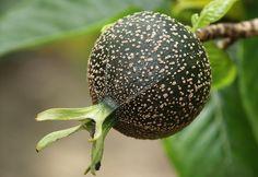 Gardenia brighamii seed pod (critically endangered)