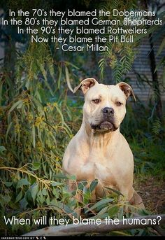 pitbull sayings and quotes | Pitbulls are singled out just like the Doberman Pinschers, German ...