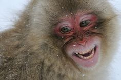 """Shot of this juvemile Japanese Macaque aka Snow Monkey taken at Jigokudani """"Hell's Valley"""" Wild Monkey Park located in the valley of the Yokoyu River which is part of the Joshinetsu-Kogen National Park near Nagano on the main island Honshu, Japan. Big Animals, Animals Images, Funny Animals, Japanese Macaque, Monkey Park, Aviation Image, Nagano, Portraits, Funny Animal Pictures"""