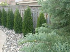 This planted hedge of arborvitae along a trellis topped fence provides a beautifully effective privacy screen in this yard.