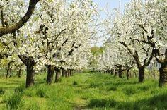 Ein absoluter Traum. Das Obst, das von solchen Wiesen kommt, lässt sich zu ganz leckeren Fruchtsäften verarbeiten. In diesem Fall könnte man unzählige Liter Apfelsaft herstellen.