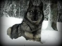 Agouti Siberian Husky.....so stinkin beautiful!!