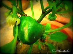 Green Capsicum   RumbleArt INSPIRE   Gateway to Fine Art Photography   India   Category: Macro   Buy Prints/ Credits: Click on the photograph