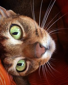 """""""It's all in the eyes..."""" #whiskerwednesday #abyssinian #abycat #abyssiniancat #instacat #catsofinstagram #aby #instagramcats #abyssiniansofinstagram #abyssinianlovers #abylove #abyssinian_feature #lovecats #bestmeow #meowbox #excellent_cats #cat_features #catslife #cats_of_instagram #happycat #instacat_meows #chat #ig_catclub #yourcatphoto #cats_of_world"""