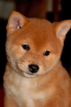 What makes the Shiba Inu such an amazing dog? It's the Shiba Inu Temperament and Intelligence. Sometimes called the felines of the dog world, these dogs are independent, brave and loyal - all wrapped up in a tiny little package. Animals And Pets, Baby Animals, Funny Animals, Cute Animals, Wild Animals, Baby Dogs, Pet Dogs, Dog Cat, Doggies