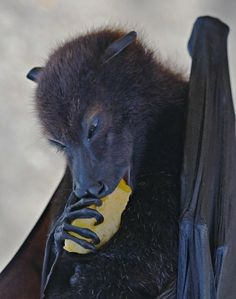 'Bat by kevinfairley Nature Animals, Animals And Pets, Baby Animals, Beautiful Creatures, Animals Beautiful, Fruit Bat, Cute Bat, Baby Bats, Tier Fotos