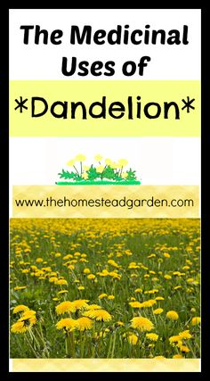 The Medicinal Uses of Dandelion.