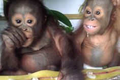 Budi | Animals | Orangutan Rescue | International Animal ...