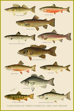 There are a number of fish people love to eat many of which can be game fish fandeluxe Images