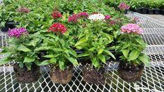 Pentas Graffiti MIX  # Bountiful Plants Live Plants, Graffiti, Graffiti Artwork, Street Art Graffiti