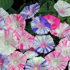 Morning Glory Seeds - 'Harlequin Mix' - Blooming summer through fall, these climbing vines can reach 10-12'. For full sun to partial shade.