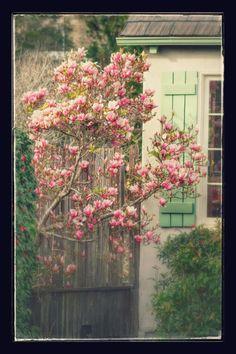 Magnolia, blooming, tree, Berkeley, mint shutters, fence, spring, pink, flowers, flowering, ©JoannaKonarzewskiPhotography