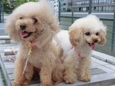 very cute toy poodle  トイプードル