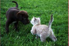 Lab puppy sniffing kitten photo courtesy of Jennifer