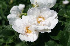 La collection Globe planter - Rosier - SAVORANOVA® - White®