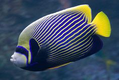 A beautiful Emperor Angelfish at the Philippine Coral Reef exhibit at the California Academy of Sciences, San Francisco. Underwater Sea, Underwater Creatures, Ocean Creatures, Pretty Fish, Beautiful Fish, Colorful Fish, Tropical Fish, Fish Breeding, Salt Water Fish