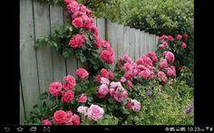 Aqui tb rosas cobrindo a cerca