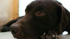 Labrador chocolate descansando