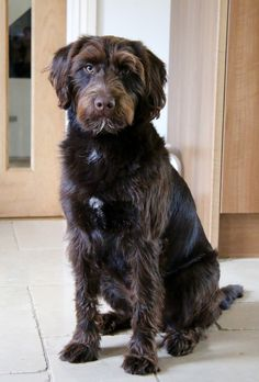 Casper the Miniature Chocolate Labradoodle