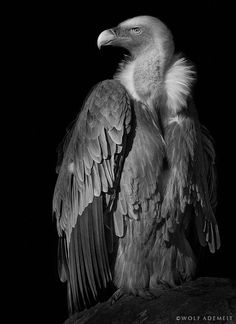 the vulture by Wolf Ademeit on 500px