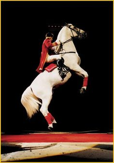 Lipizzaners have a flair for the dramatic--the spotlight loves them, and we do too. Check out these photos of Lipizzaners busting out their most sensationa. Majestic Horse, Beautiful Horses, Animals Beautiful, Spanish Riding School Vienna, Horse Riding School, Lippizaner, Lipizzan, White Horses, Horse Breeds