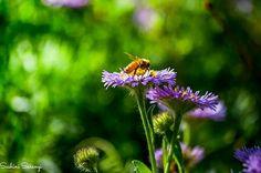#New_Zealand #Photography #Nature #Bee #Flowers #Purple