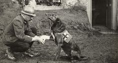 An Allied soldier bandages the paw of a Red Cross working dog in Belgium during WWI, May 1917