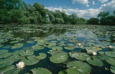 pond lily pads - Google Search