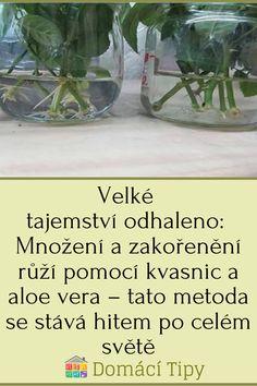 Aloe Vera, Glass Vase, Tatoo