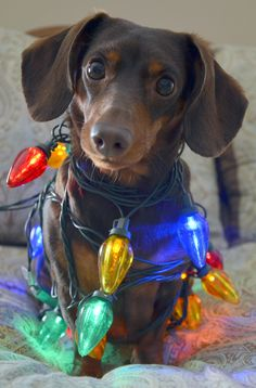 Shop Silly Dachshund tangled in Christmas Lights Holiday Card created by Personalize it with photos & text or purchase as is! Christmas Animals, Christmas Dog, Christmas Lights, Christmas Dachshund, Merry Christmas, Christmas Artwork, Cute Puppies, Cute Dogs, Dogs And Puppies
