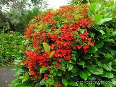 climbing Tropaeolum speciosum Farmhouse Garden, Secret Gardens, Climbing, Ireland, Irish, Flowers, Plants, Irish Language, Mountaineering