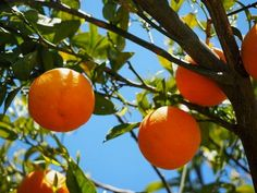 Find images of Citrus Tree. ✓ Free for commercial use ✓ No attribution required ✓ High quality images. For Your Health, Health And Wellness, Greece Tours, Online Cooking Classes, Orange Grove, Chios, Citrus Trees, Tree Images, Vitamin C
