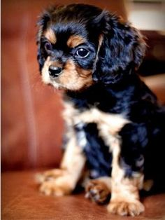 Cavalier King Charles Spaniel...I want this puppy so badly! by jo