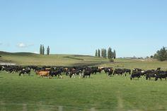 Cattle Farm - New Zealand