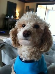 Amber is an adoptable Poodle Dog in Eighty Four, PA. Amber is a 2 year old female Minature Poodle. She is scheduled to be spayed and up to date on shots. For more information on Amber please call Je...