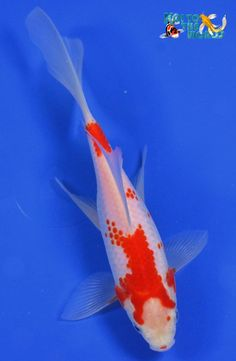 Pond comet goldfish for sale at where you can paint me art pinterest for Koi fish life span