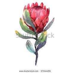 Hand-drawn watercolor illustration of red protea flower. Exotic tropical and colorful blossom of beautiful flower. Isolated on the white background Royalty free image illustration Flor Protea, Protea Art, Protea Flower, Botanical Drawings, Botanical Illustration, Botanical Art, Watercolor Illustration, Watercolor Pictures, Watercolor Flowers