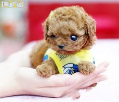 minature teacup poodle. i will have one someday  take it places in my pocket :D