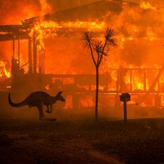 """A kangaroo rushes past a burning house in Lake Conjola New South Wales Australia on Tuesday"" 31 December Photo credit: Matthew Abbott for The New York Times<br> Bushfires In Australia, Melbourne, Areas Protegidas, Burning House, Image Hd, Fauna, New York Times, Climate Change, Destinations"